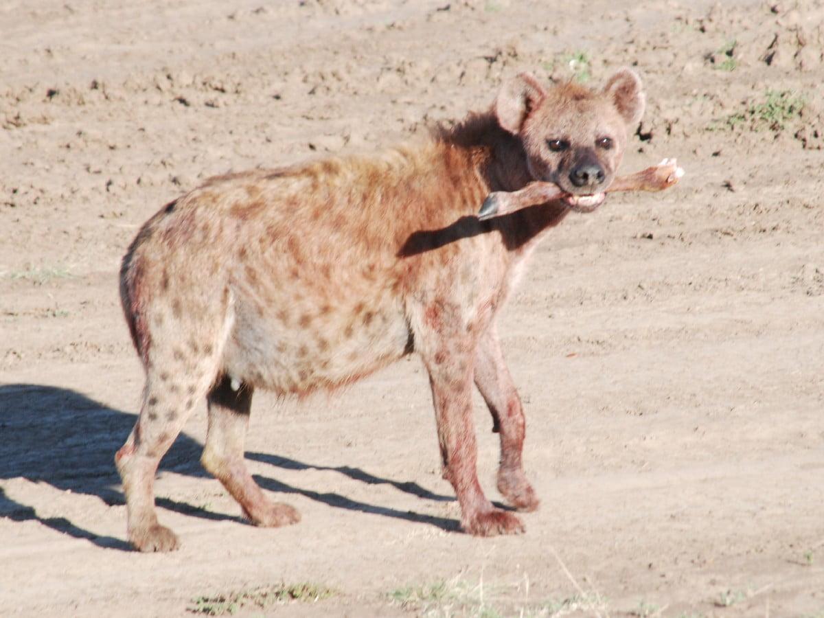 Masai Marada sırtlanlar